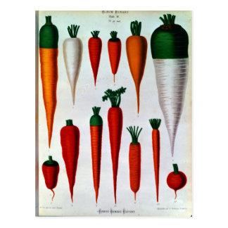 Karotten Postkarte
