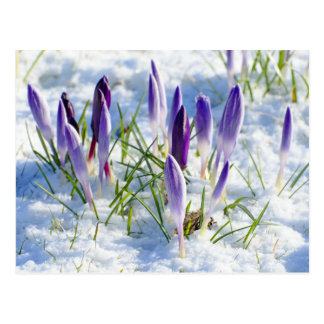 Karten-lila Krokus-Blume im Schnee Postkarte