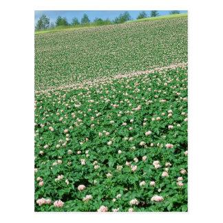 Kartoffel-Feld 3 Postkarte