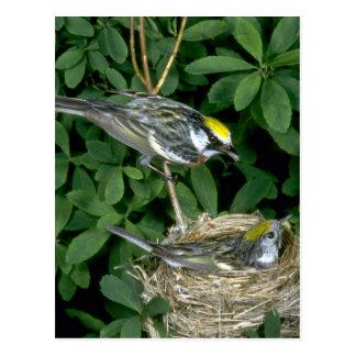 Kastanie-mit Seiten versehene Trällerer auf Nest Postkarte