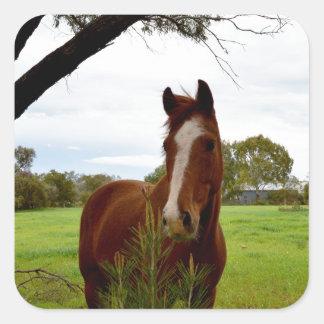 Kastanien-Pferd, das einen Banksia-Baum Quadratischer Aufkleber
