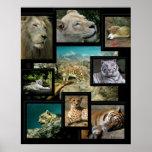 Katzen des Cincinnati-Zoo ~ Plakats druckt