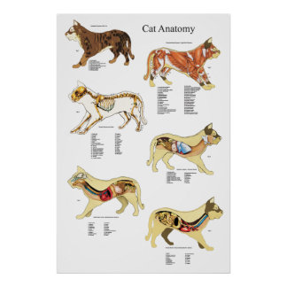 Katzen-Organ-Anatomie-Tierarzt-Diagramm Poster