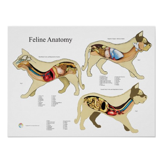 Katzen-Organ-Anatomie-Tierarzt-Diagramm Poster | Zazzle