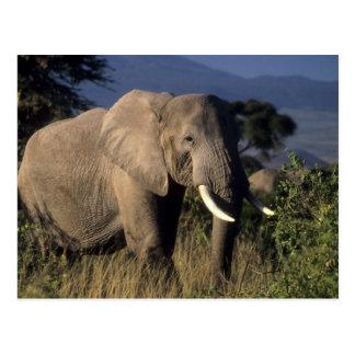 Kenia: Amboseli, männlicher afrikanischer Elefant Postkarte