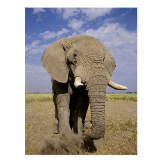 Kenia: Amboseli Nationalpark, männlicher Elefant Postkarte