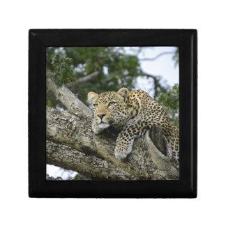 Kenia-Leopard-Baum-Afrika-Safari-tierische wilde Erinnerungskiste