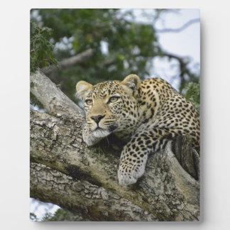 Kenia-Leopard-Baum-Afrika-Safari-tierische wilde Fotoplatte