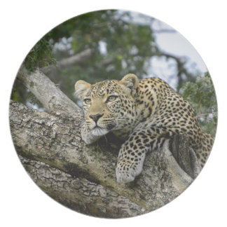 Kenia-Leopard-Baum-Afrika-Safari-tierische wilde Teller
