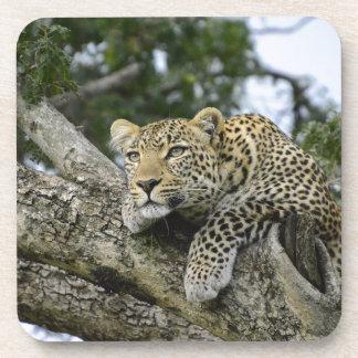 Kenia-Leopard-Baum-Afrika-Safari-tierische wilde Untersetzer
