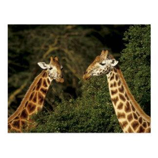 Kenia: See Nakuru Nationalpark, Rothschild 2 Postkarte