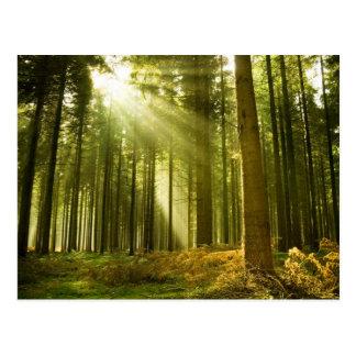 Kiefernwald mit dem Sonneglänzen Postkarten