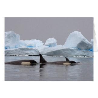 Killerwale (Schwertwale), Orcinus-Schwertwal, Karte