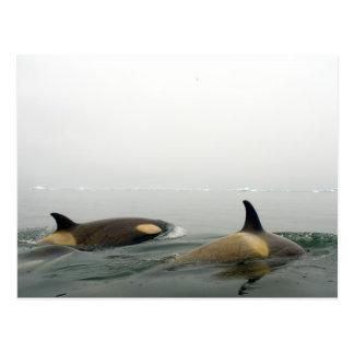 Killerwale (Schwertwale), Orcinus-Schwertwal, Postkarte