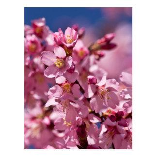 Kirschblüte-Kirschblüten geküsst durch Sonnenlicht Postkarte
