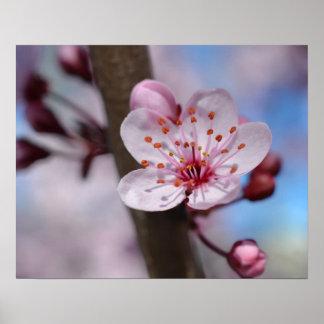 Kirschblüten-Blume