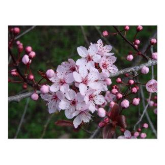 Kirschblüten im Früjahr Postkarte