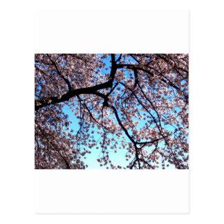 Kirschblüten * Liebe Postkarte
