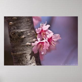 Kirschblüten Nestled gegen Niederlassungs-Plakat Poster