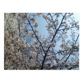 Kirschblüten Postkarte
