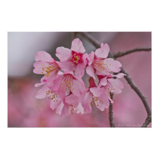 Kirschblüten-Rosa-Pastellblumenstrauß-Plakat Poster