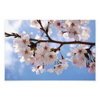 Kirschblüten und hellblauer Himmel Kunstphoto
