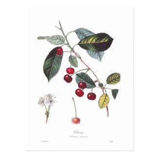 Kirsche (Prunus cerasus) Postkarten
