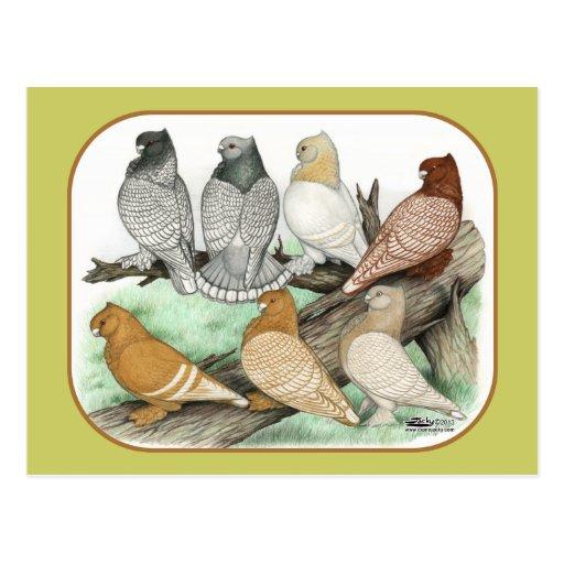 Klassische Krause-Tauben Blondinettes Postkarten