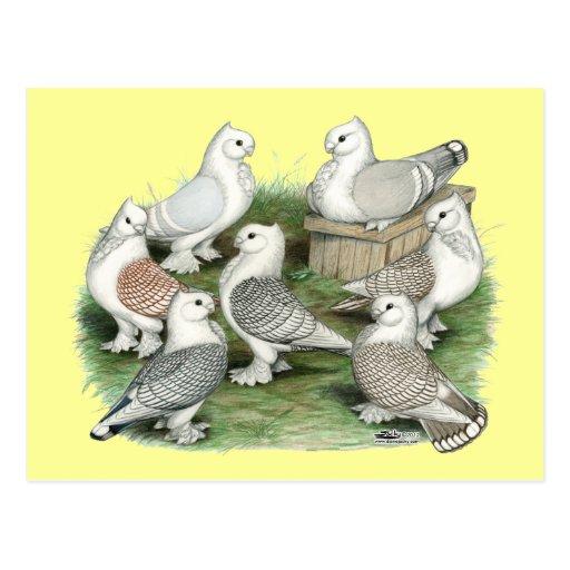 Klassische Krause-Tauben Postkarten