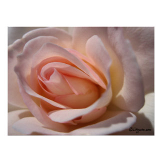 Klassisches rosa Rosen-Plakat Poster