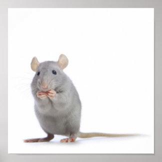 Kleine Ratte Posterdruck