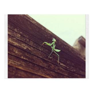 Kleiner Mantis Postkarte