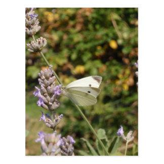 Kleiner Weiß-oder Kohl-Weiß-Schmetterling Postkarte