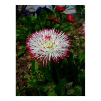 Kleines niedliches rosa Gänseblümchen Postkarte