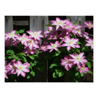 Kletternde Clematis-Frühlings-Blumen Poster