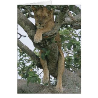 Kletternde Löwin des Baums (Panthera Löwe), Karte