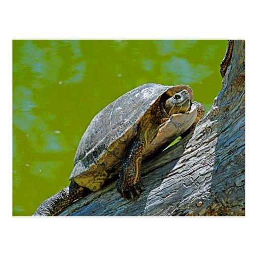Kletternde Schildkröte-Postkarte
