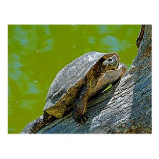 Kletternde Schildkröte-Postkarte Postkarte