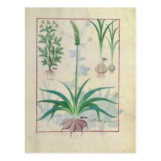 Knoblauch und andere Pflanzen Postkarte