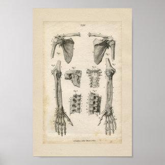 Knochen des Arm-Vintagen Anatomie-Druckes Poster