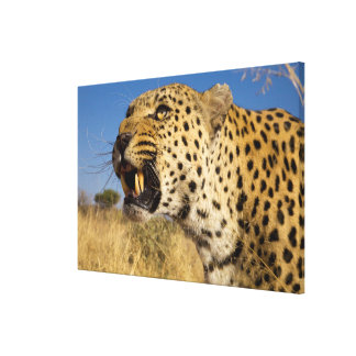 Knurrender Leopard Leinwanddruck