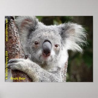 Koala-Bär Poster