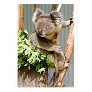 Koala-Bär Postkarte