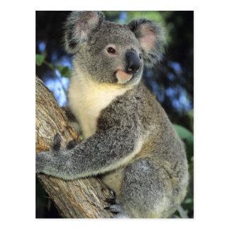 Koala, Phascolarctos cinereus), Australien, Postkarte
