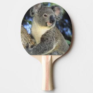 Koala, Phascolarctos cinereus), Australien, Tischtennis Schläger