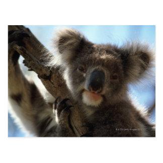 Koala Postkarte