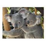KoalaPhascolarctos cinereus Queensland. Postkarte