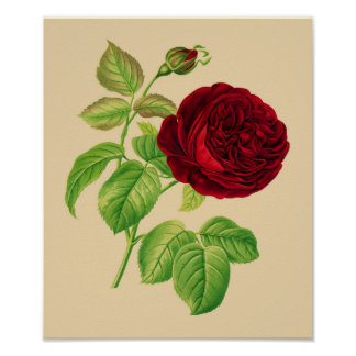 Kohl-Rose Poster