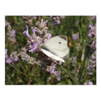 Kohl-Weiß-Schmetterling Postkarte