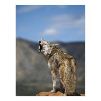 Kojote, der vom Höhepunkt heult Postkarte